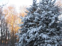 snow on the hemlocks in our yard at first light
