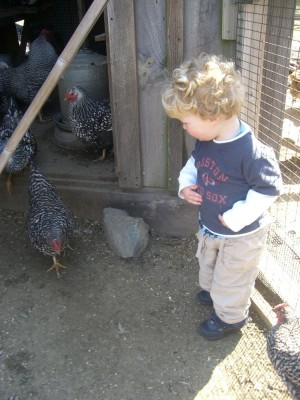 harvey among the chickens
