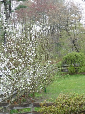 snow falling on the apple blossoms