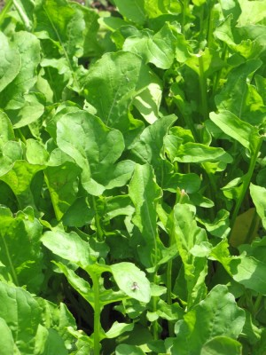 a mass of arugula
