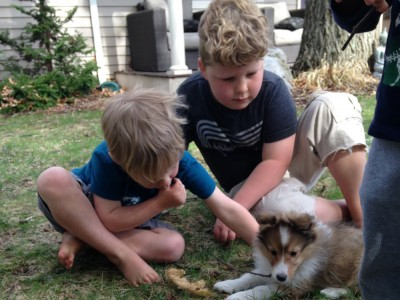 Zion and Harvey playing with a baby sheltie puppy