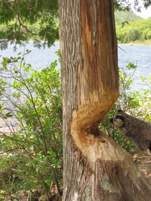 Washington racoon poses with a beaver-gnawed tree