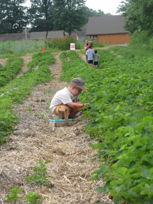 Harvey at work in the strawberry field