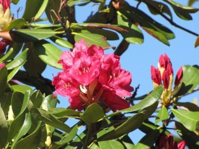 red-purple rhododendron flowers against a blue sky