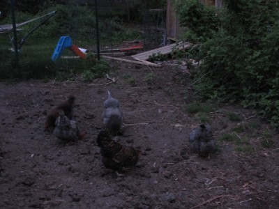 the chickens scratching in the garden before sunrise