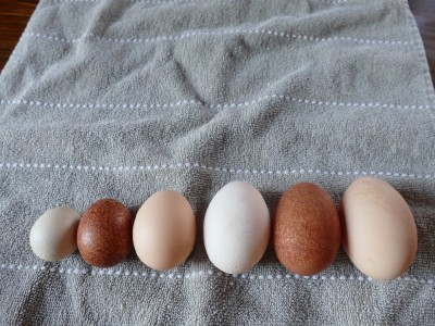 a range of sizes of eggs on a dishtowel