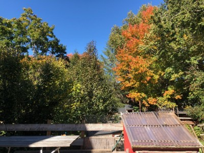 fall trees above the chicken coop