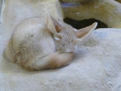 a fennec fox sleeping