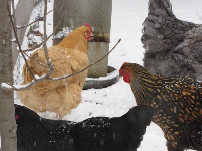 some hens in the snow