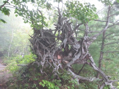 a sculpturesque tangle of uprooted tree roots in the mist