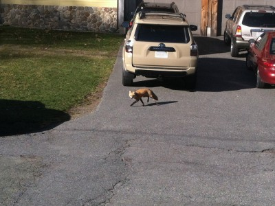a fox in the neighbor's driveway