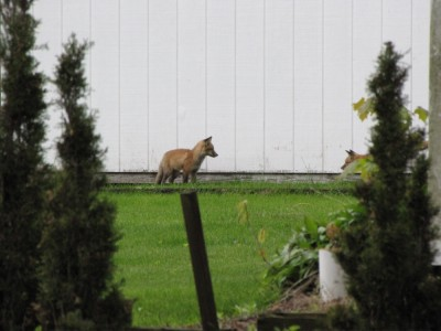 a pair of fox kits seen at a distance