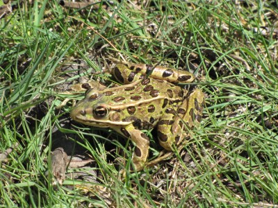 a green-and-brown frog in the grass