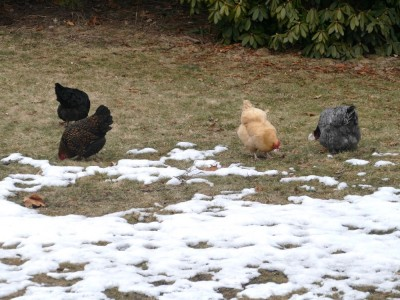 the chickens in the grass at the edge of the snow