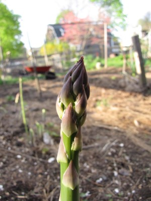 the tip of an asparagus spear in the garden