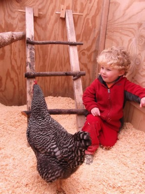 harvey in the chicken coop