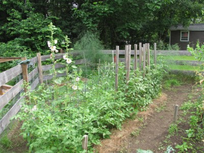the whole hollyhock plant in amongst the tomatoes