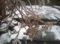 ice on the the spirea plant