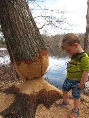Lijah considering a large tree cut almost all the way through by beavers
