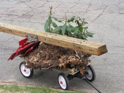 Harvey's wagon loaded with a rhodadendron and a large timber