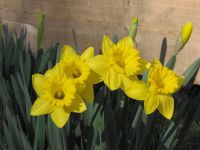 some of our daffodils against the fence