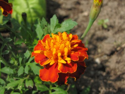 closeup of red and orange marigold flower