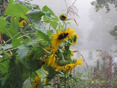 sunflowers on a misty morning