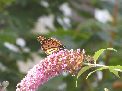 a monarch on our butterfly bush