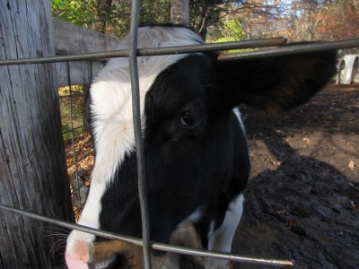 a cow looking through the fence at the camera