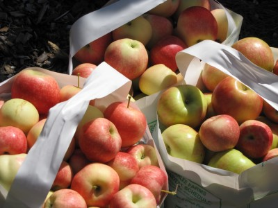 three half-bushel bags full of apples