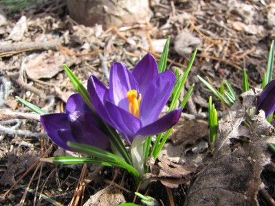 purple crocuses in full bloom