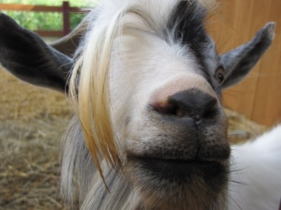 a goat with very long... bangs? eyebrows?