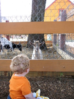 Harvey checking out the goats