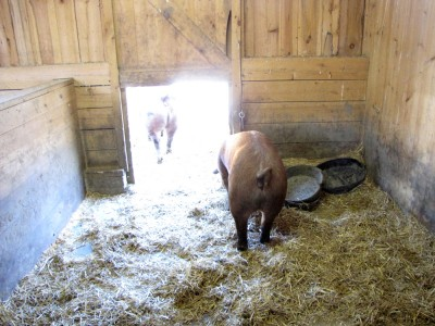 pigs exiting their stall