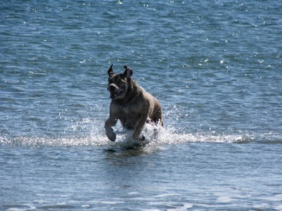 Rascal running out of the ocean