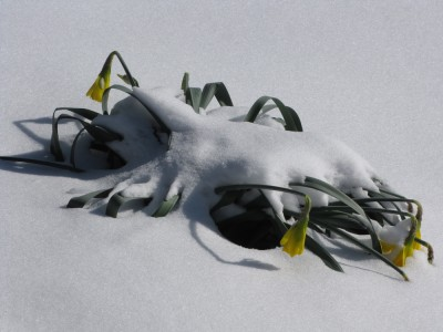 daffodils smushed down by snow