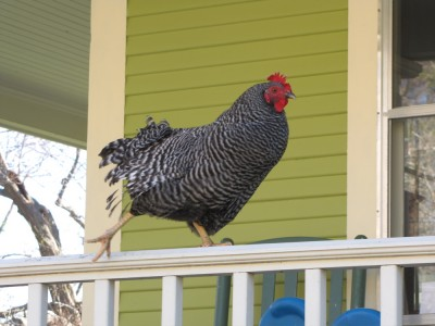 a chicken on the porch railing
