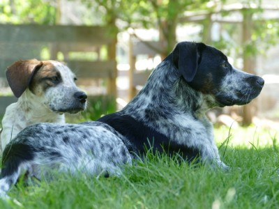 Scout and Blue lying on the grass
