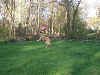 Rascal jumping to catch a frisbee