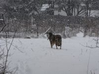 Rascal in heavy falling snow, looking back at the camera