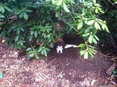Rascal relaxing under a bush on a drizzly day