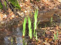 bright green shoots in a water-filled ditch