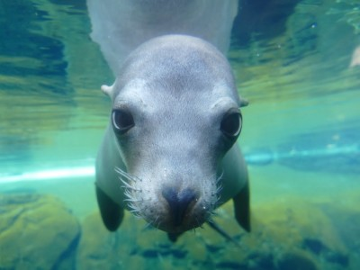 a sea lion underwater looking right at the camera