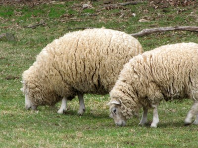 a pair of wooly sheep in the pasture