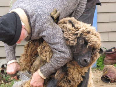 a sheep being sheared with big scissors