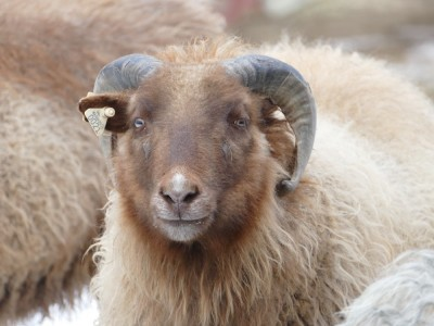 the face of a brown sheep, with horns