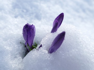 purple crocuses poking out of the snow