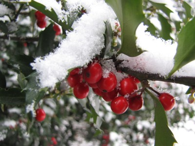 holly berries with snow on them