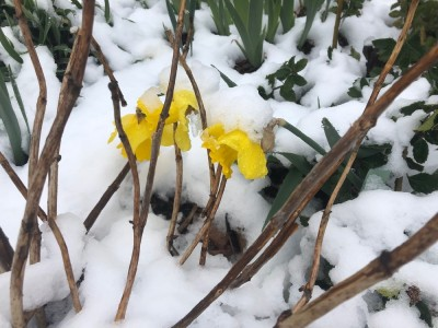 a daffodil smashed down by the snow