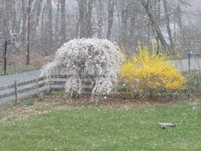 snow falling past the weeping cherry and forsythia